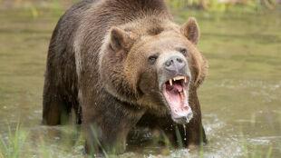 Kobieta i dziecko zginęli po ataku niedźwiedzia